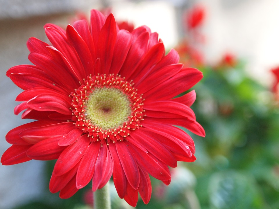 red daisy flower hd - photo #11